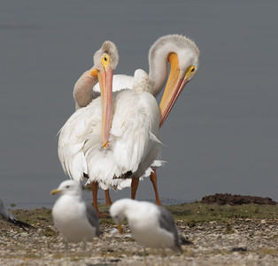 American White Pelican Lake Crowley 2018 08 12-1.CR2