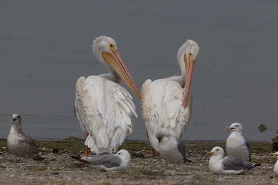 American White Pelican Lake Crowley 2018 08 12-4.CR2