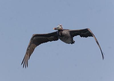Brown Pelican Agua Hedionda 2021 4 12-217.CR3