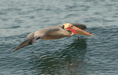 Brown Pelican Cardiff Beach 2016 12 14-1-2.CR2