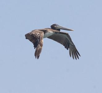 Brown Pelican Agua Hedionda 2021 4 12-216.CR3