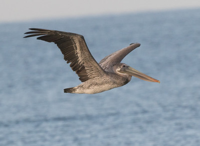 Brown Pelican Cardiff Beach 2019 10 14-1.CR2