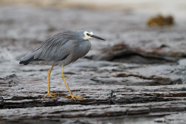 White-faced Heron