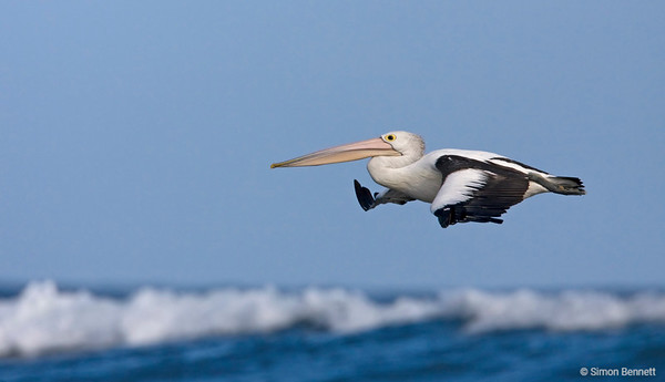 Pelicans, Wading birds and Shags