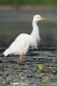 Intermediate Egret