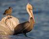 Female Brown Pelican Pelecanus occidentalis