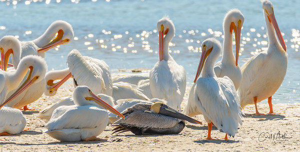 Dare to be different - Pelicans