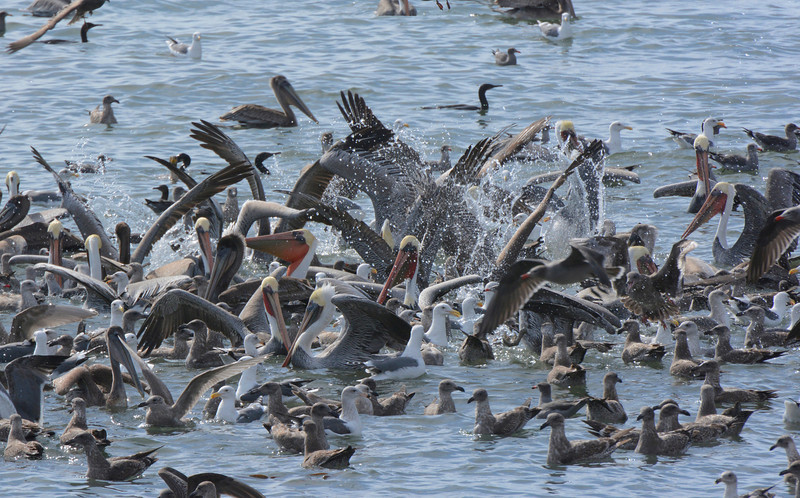 Massive feeding frenzy