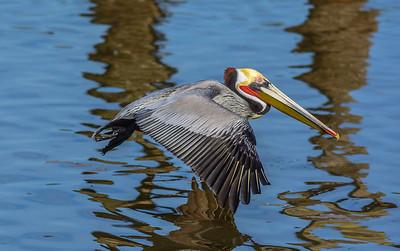 Brown Pelican in breeding plumage.