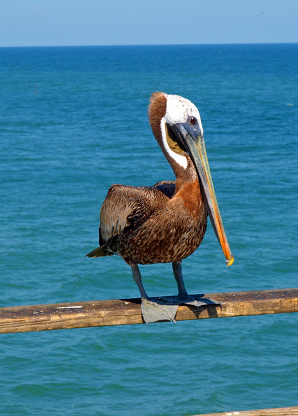 KBPelicans
