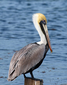 Brown Pelican at Mosquito Lagoon, Florida