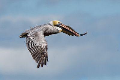 (PE27) Brown Pelican