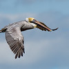 Brown Pelican Flying over New Smyrna Beach, Florida