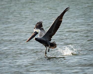 Brown Pelican Landing in Texas
