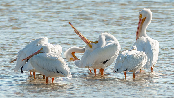 American White Pelicans - There's always one show off