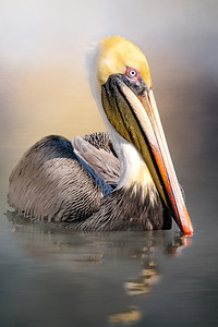 Brown Pelicans at Port Orange Causeway, FL
