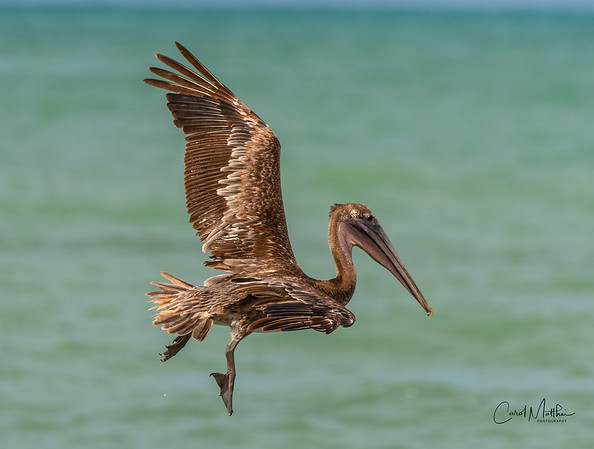 Brown Pelican gulf flight