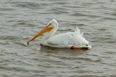 Whit Pelican in Le Claire, Iowa