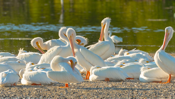 American White Pelicans - The Slumber Party