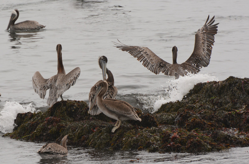 Pelican's hanging out on the rocks