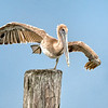 Banded Juvenile Brown Pelican