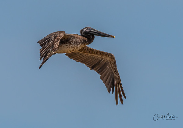 Brown Pelican fly by-6