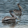 Brown pelicans - juveniles