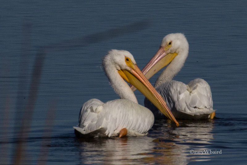White Pelican Pair