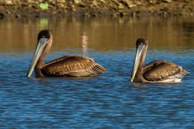 Brown Pelican Pair