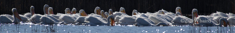 Pelican Feeding Formation