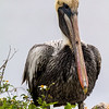 Brown Pelican with Flower