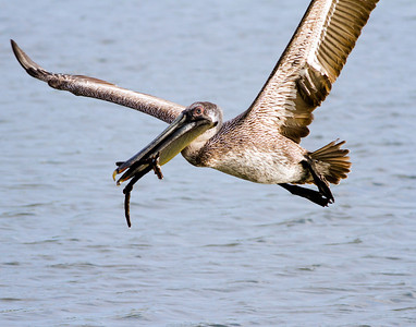 Brown Pelican carying twigs to nest at New Smyrna.