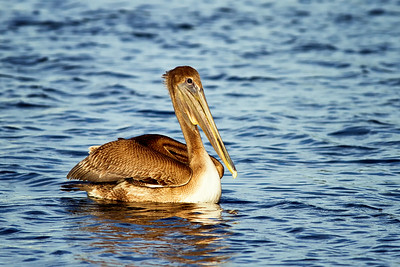 Brown Pelican in Indian River North