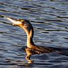 Cormorant Swallowing Fish