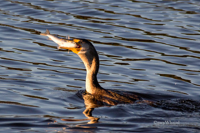 Cormorant Swallowing Fish