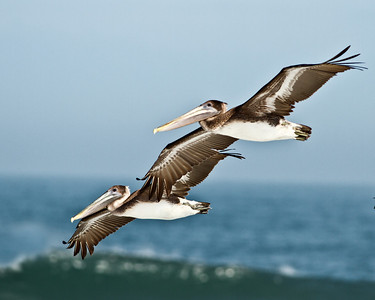 (PE3) Brown Pelicans in fly-over at New Smyrna Beach