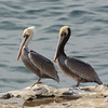 Colorful Brown Pelicans