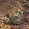 Pelophylax perezi, (Perez frog)