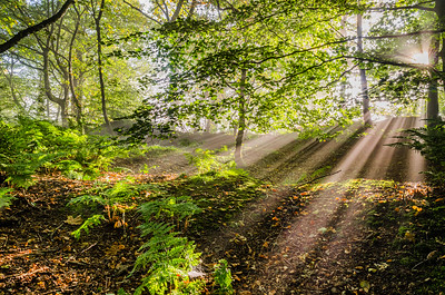 Early morning sun rays creeping through the trees of White Hill Wood, Simonstone.