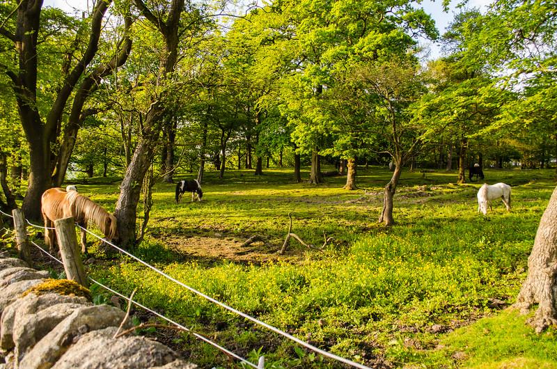 Grazing horses in Hodgeon Stone Plantation