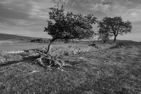 Tree Hedges, Nick O' Pendle