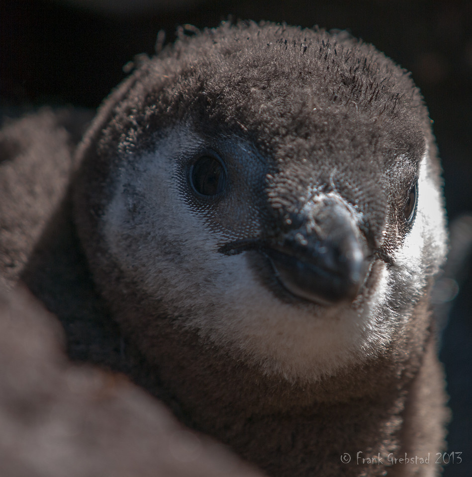 Magellanic Penguin baby