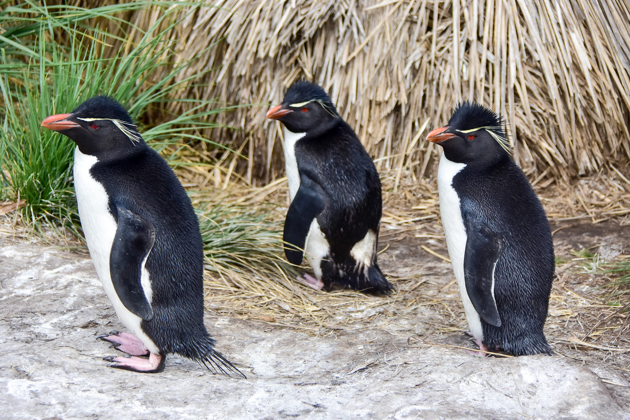 Rock Hopper Penguins , West End Island, Falklands