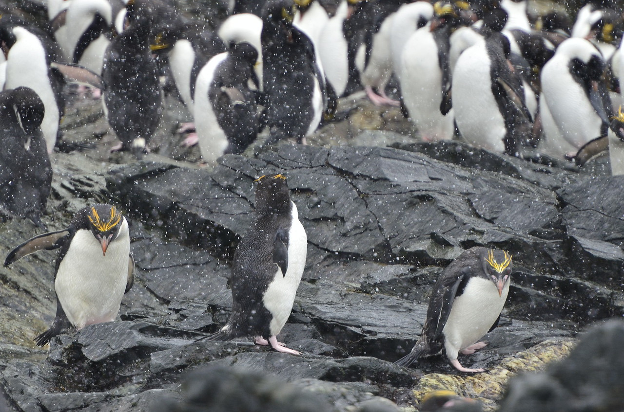 Macaroni Penguins near Elephant Island, South Georgia