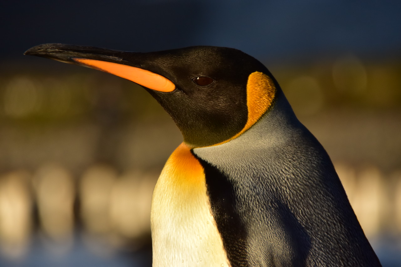 King Penguin, St. Andrews Bay