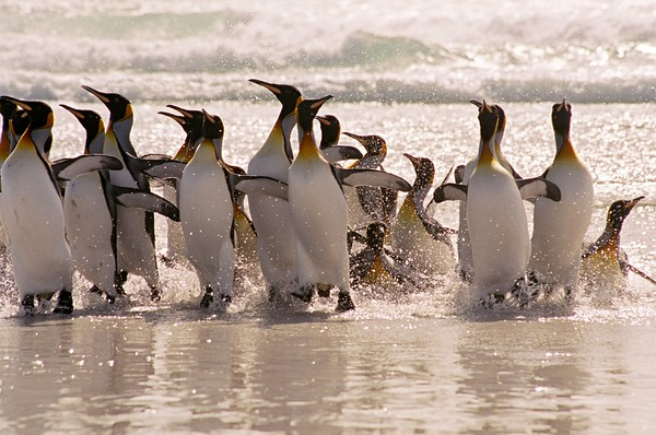 Penguin Joy