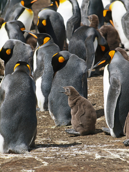 A baby King Penguin at Volunteer Point in the Falkland Islands.