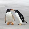 Gentoo Penguins at Volunteer Point in the Falkland Islands.