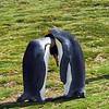 King Penguins at Volunteer Point in the Falkland Islands.
