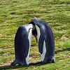 King Penguins at Volunteer Point in the Falkland Islands.